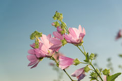 Meadow pink Mallow against a blue sky. A Meadow pink Mallow against a blue sky Stock Photo