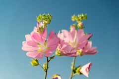 Meadow pink Mallow against a blue sky. A Meadow pink Mallow against a blue sky Stock Image