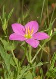 Meadow Pink, Sabatia campestris flower Stock Image
