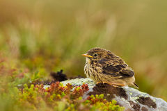 Meadow Pipit Royalty Free Stock Images