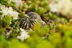 Meadow Pipit Royalty Free Stock Photos