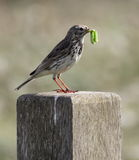 Meadow Pipit. Picture taken in Eastbourne U.K, this bird ready to feed young just a few weeks later they would all be migrating to sunnier climates royalty free stock image
