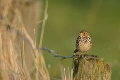 The meadow pipit Stock Photos