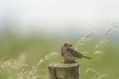 Meadow Pipit Stock Photography