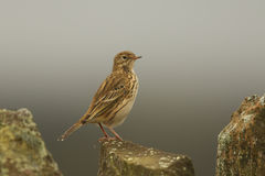 Meadow Pipit (Anthus pratensis). Royalty Free Stock Photo