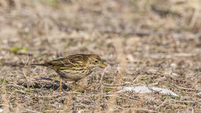 Meadow pipit Stock Photo