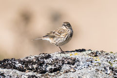 Meadow pipit Anthus pratensis on rock head on. Small brown songbird in the family Motacillidae, perched on rock in Dartmoor Narional Park, Devon, UK Stock Images