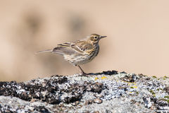 Meadow pipit Anthus pratensis on rock, profile. Small brown songbird in the family Motacillidae, perched on rock in Dartmoor Narional Park, Devon, UK Royalty Free Stock Photos