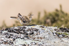 Meadow pipit Anthus pratensis ruffling feathers Royalty Free Stock Photography