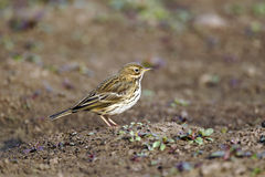 Meadow pipit, Anthus pratensis Royalty Free Stock Image