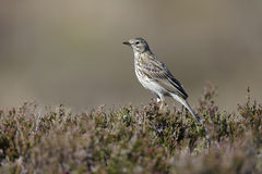 Meadow pipit, Anthus pratensis Royalty Free Stock Photography