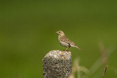 A Meadow Pipit on a concrete poll Royalty Free Stock Image