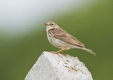 A Meadow Pipit on a concrete poll Stock Photo