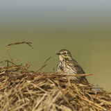 A Meadow Pipit on a dry grass Royalty Free Stock Photo