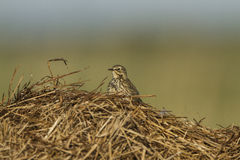 A Meadow Pipit on a dry grass Royalty Free Stock Image
