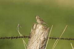 A Meadow Pipit on a fence Stock Photos