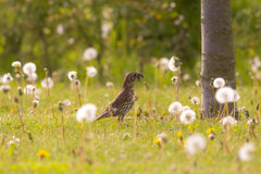 Meadow pipit in a field with common dandelions caught a caterpil Royalty Free Stock Photos