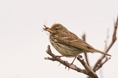 A Meadow Pipit with food Stock Photos