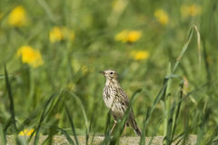 A Meadow Pipit in the grass Royalty Free Stock Images