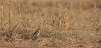 Meadow Pipit on grass habitat Stock Photo