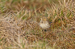 A Meadow Pipit in the grass Royalty Free Stock Photos