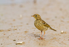 A Meadow Pipit juvenile Stock Photos
