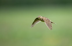 A meadow pipit on ore a titlark Stock Photography