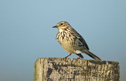 A meadow pipit on ore a titlark Royalty Free Stock Photos