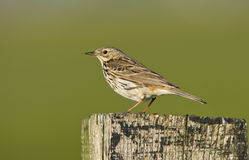A meadow pipit on ore a titlark Stock Photo