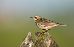 A meadow pipit on ore a titlark Royalty Free Stock Image