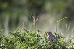 Meadow Pipit Stock Photos