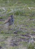 Meadow Pipit Royalty Free Stock Photography