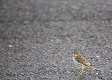 Meadow Pipit Stock Images