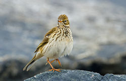 A meadow pipit on a pile ore a titlark Stock Photography