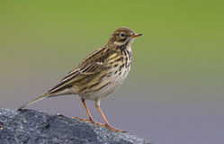 A meadow pipit on a pile ore a titlark Royalty Free Stock Photo