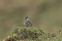 Meadow pipit portrait in purple heather. Meadow pipit portrait within purple heather Stock Photos