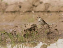 A Meadow Pipit on a puddle Royalty Free Stock Images