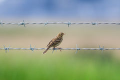 Meadow Pipit Royalty Free Stock Photo