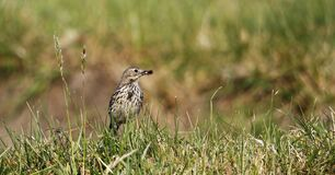 Meadow pipit foraging for food