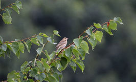 Meadow pipit Stock Image