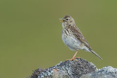 Meadow pipit on a wall Stock Photo