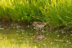 A Meadow Pipit in the water Royalty Free Stock Photography
