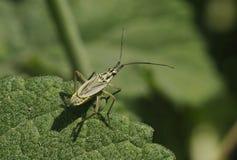 Meadow Plant Bug - Leptopterna dolabrata Stock Photos
