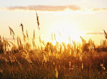 Meadow Plants against Sunset in Yellow Royalty Free Stock Photo