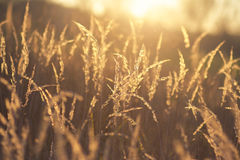 Meadow Plants against Sunset Stock Images