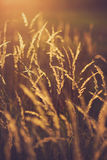 Meadow Plants against Sunset Royalty Free Stock Image