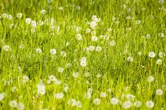 Meadow plants and  dandelions Royalty Free Stock Photos