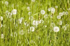 Meadow plants and  dandelions Royalty Free Stock Image