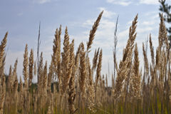 Panicle plants Royalty Free Stock Images