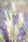 Meadow plants, spikelets. In field Royalty Free Stock Photo